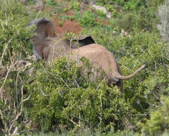 Addo Elephant National Park DSC_8204_01.JPG