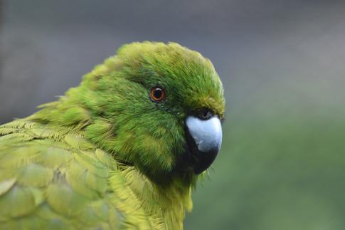 Antipodes Islands Parakeet