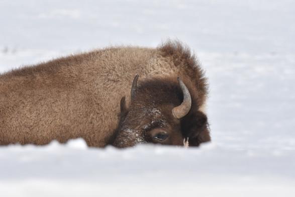 Buffalo Resting in Snow