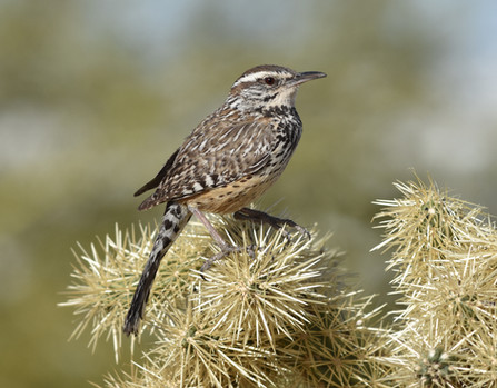 Cactus Wren on Cholla