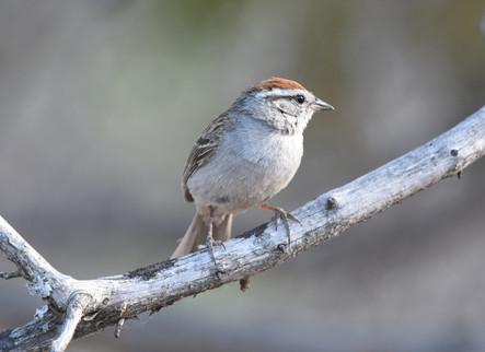 Rufus Crowned Sparrow