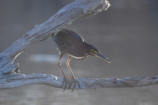 Green Heron Hunting in the Backwaters of the Rio Grande