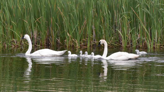 Swans and Cignets