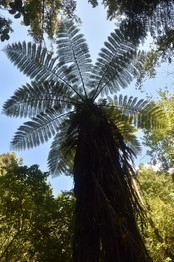 Tree Fern on the Queen Charlotte Track
