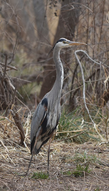 A Very Wary Great Blue Heron