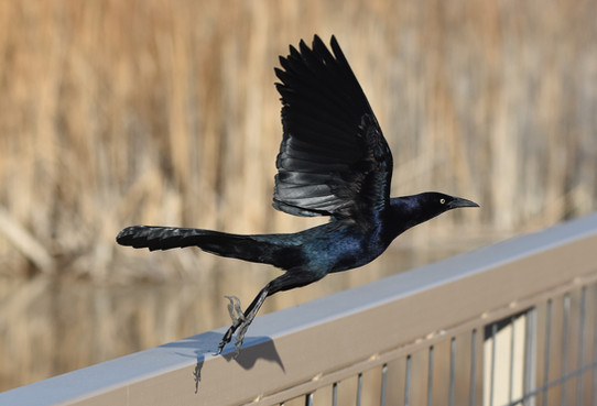 The Sleak Great-tailed Grackle
