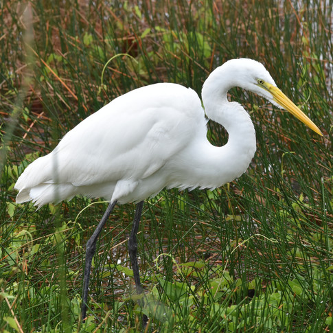 Great Egret at Coba Lake