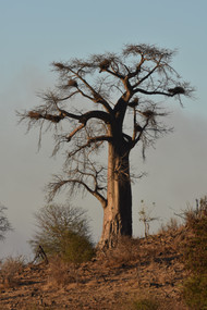 Baobab Tree With Weaver Nests