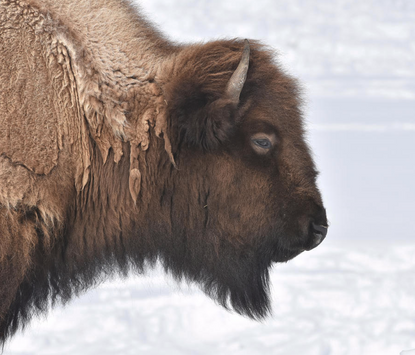 Bison Profile Greeting Cards