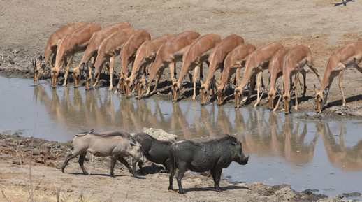 Imapala at the Water Hole With Wart Hogs