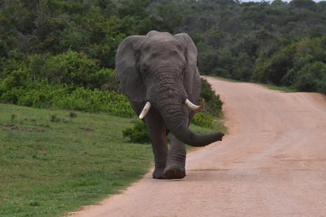 Paul Kruger, a large bull elephant