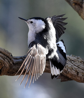 White-breasted Nuthatch Wing Display