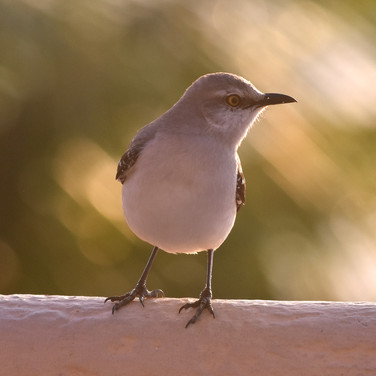 Yucatan Mocking Bird