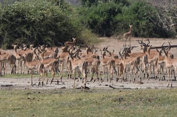 Impala Gathering