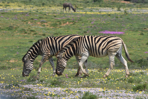 Zebra and Spring Flowers