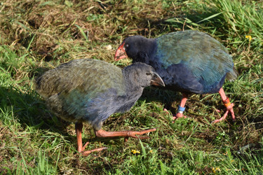 Adult and Chick Takahe
