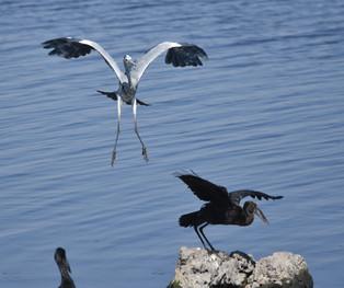 Heron Landing 02
