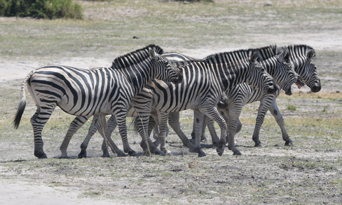 A Small Dazzle of Zebra