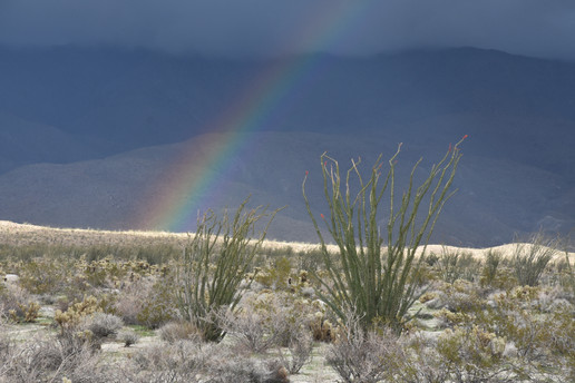 Desert Rainbow With Ocotillo
