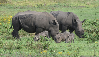 Rhinos and Wart Hogs Share the Resource