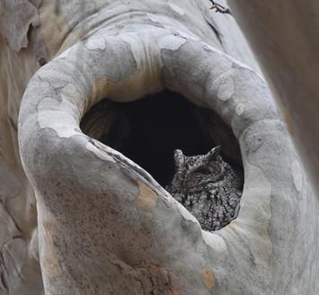 Whiskered Screech Owl
