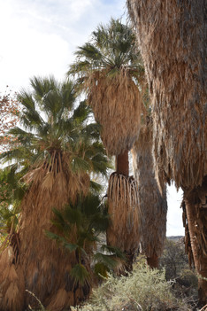Fan Palms at Cottonwood Springs