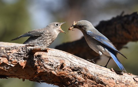 Mountain Bluebird and Chick