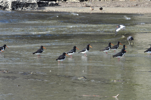 More Oyster Catchers