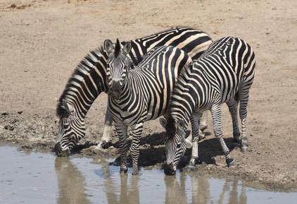Three Zebra Have a Drink