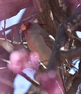 Female Cardinal Eating Redbud Flowers