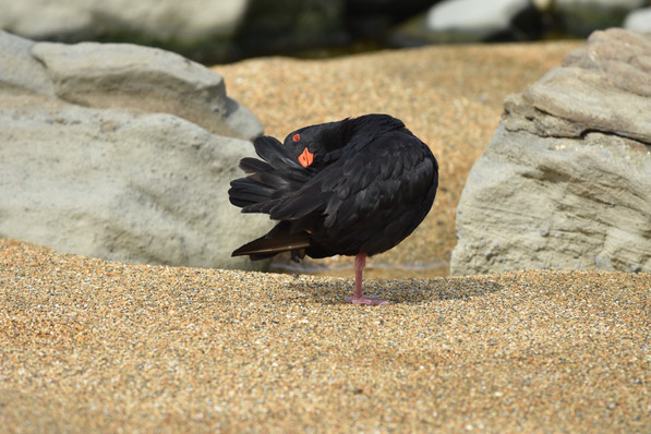 Variable Oyster Catcher (Black Phase)