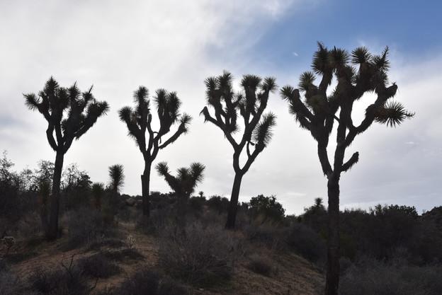 Joshua Trees Silhouette