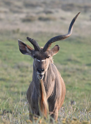 Male Kudu Missing a Horn