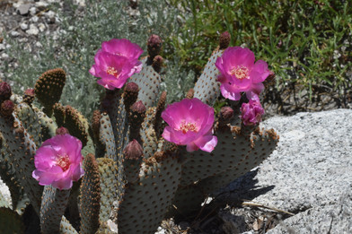 Flowering Opuntia