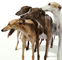 greyhounds_for_FB.png