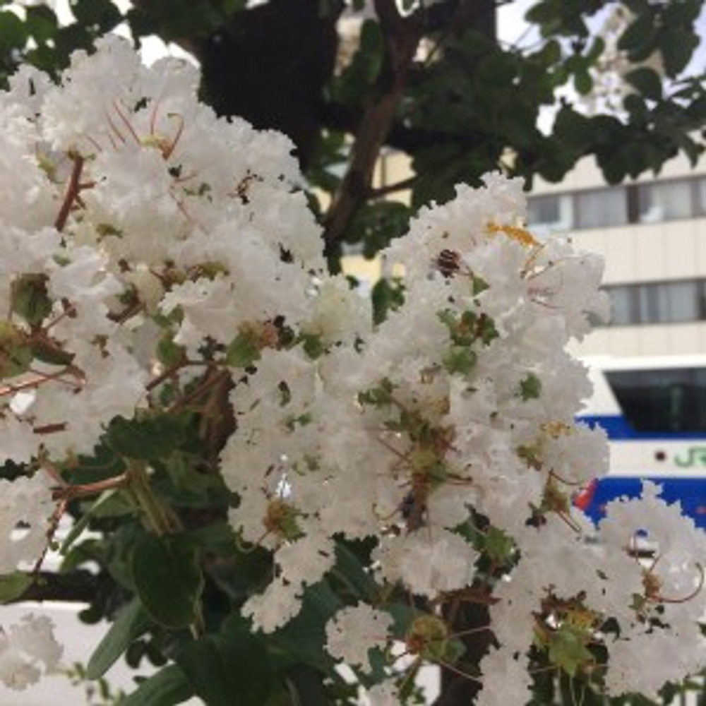1/f エフブンノイチ 上野本店のある浅草通りに咲く百日紅