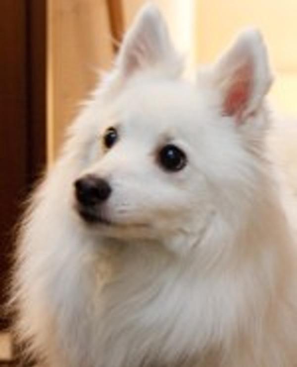 マスコット犬 スピッツのハリー