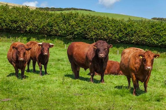 Devon Red Ruby Cattle