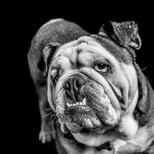pet photo shoot, bull dog