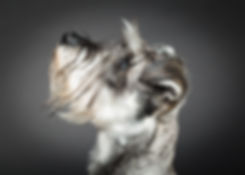 Dog Photo Shoot, Natalie Jayne Photography, Schnauzer