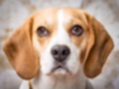 Pet, Dog, Photo Shoot, Beagle, Natalie Jayne Photography