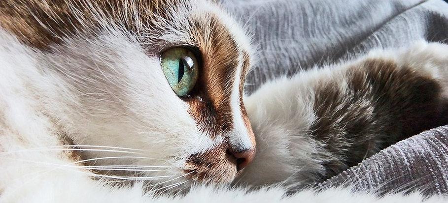 Katze - Kühn Pathologie