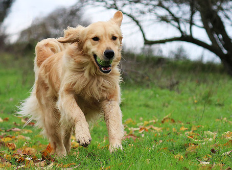 Everything You Need To Know About Healthy Golden Retriever Puppies