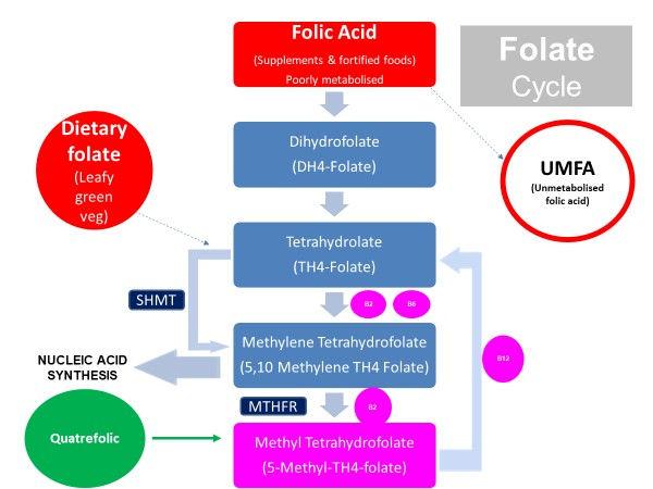 Folate Cycle.jpg