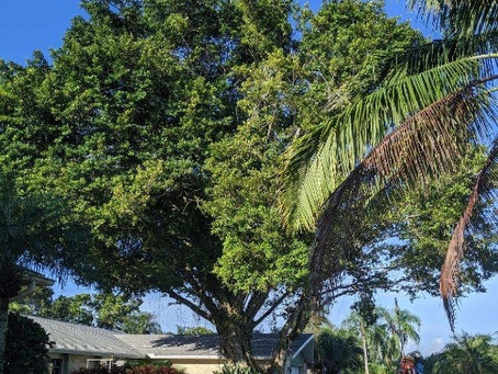 SWFL - Do You Need a Permit to Trim, Remove, or Stump from Your Property?