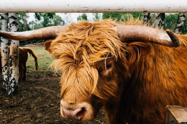 portrait-of-a-brown-highland-cow.jpg