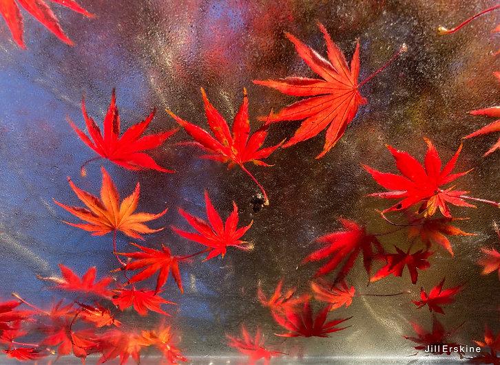IMG_2147 Multi Maple Leaves on grnho Jil