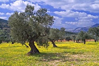 olive oil farm 2.jpg