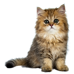 Fitzgeralds Veterinary Care Cat Standing