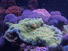 Plating Coral